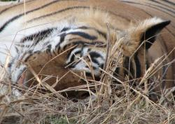 Tiger im Ranthambore NP (Exhibit presented by Monika Fiby, ZooLex) *© ZooLex, 2013